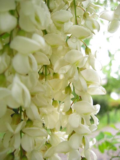 hana155-白い花の涙-tennokeppen.jpg
